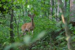 Ciervos de Whitetail Antlered en terciopelo Fotografía de archivo libre de regalías