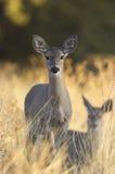 Ciervos de Whitetail de Coues fotos de archivo libres de regalías