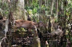 Ciervos de Whitetailed del pantano de Okefenokee Imágenes de archivo libres de regalías