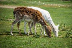 Ciervos del albino Imagenes de archivo