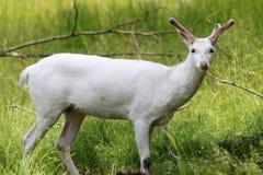 Ciervos del albino Fotografía de archivo