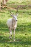 Ciervos del albino Foto de archivo