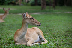 Ciervos del antílope que se sientan en la hierba Imagenes de archivo
