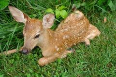 Ciervos del bebé Fotos de archivo