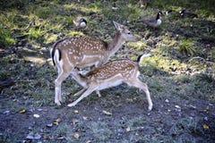 Ciervos del bebé Foto de archivo
