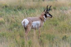 Ciervos del bebé en el parque nacional los E.E.U.U. de Yellowstone Imagenes de archivo