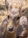 Ciervos del bebé en pajar Fotos de archivo libres de regalías