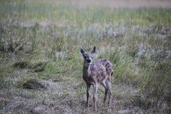 Ciervos del bebé en Yosemite Foto de archivo