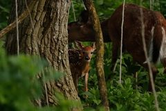 Ciervos del bebé que miran de la hilera de árboles foto de archivo libre de regalías