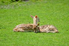 Ciervos del becerro del bebé Fotos de archivo
