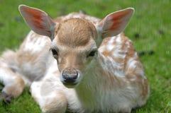 Ciervos del becerro del bebé Foto de archivo libre de regalías