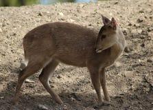 Ciervos del cerdo Fotografía de archivo