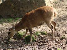 Ciervos del cerdo Foto de archivo