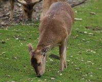 Ciervos del cerdo Imagen de archivo