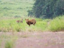 Ciervos del cerdo en campo abierto Foto de archivo