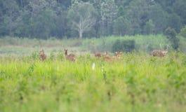 Ciervos del cerdo en campo abierto Imagen de archivo