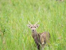 Ciervos del cerdo en campo abierto Fotografía de archivo libre de regalías