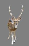 Ciervos del eje o chital masculinos Fotos de archivo libres de regalías