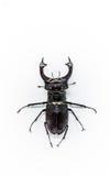 ciervos del escarabajo Fotografía de archivo libre de regalías