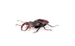 Ciervos del escarabajo del insecto en un fondo blanco Foto de archivo
