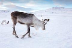 Ciervos del invierno en el desierto congelado de Siberia fotos de archivo