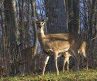 Ciervos del otoño Imagen de archivo