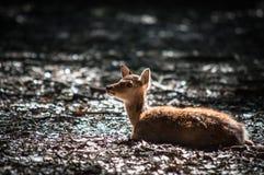 Ciervos del perrito Imagen de archivo libre de regalías