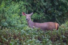 Ciervos del Sambar Foto de archivo