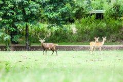 Ciervos del Sambar Fotografía de archivo libre de regalías