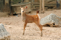 Ciervos del Sambar Imagenes de archivo