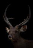 Ciervos del Sambar en la oscuridad imágenes de archivo libres de regalías