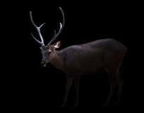 Ciervos del Sambar en la oscuridad fotos de archivo