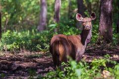 Ciervos del Sambar en sol Imagen de archivo libre de regalías