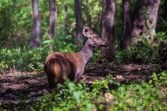 Ciervos del Sambar en un día soleado Fotos de archivo libres de regalías