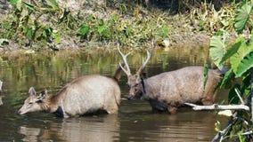 Ciervos del Sambar que permanecen en el río