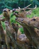Ciervos detrás de la jaula atada con alambre fotografía de archivo libre de regalías