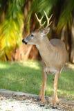 Ciervos dominantes en peligro Foto de archivo libre de regalías