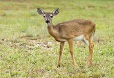 Ciervos dominantes en peligro en las llaves de la Florida Foto de archivo