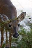 Ciervos dominantes en peligro que comen la hierba Fotografía de archivo