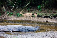 Ciervos e hinds que caminan a través del agua al bosque Fotografía de archivo