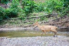 Ciervos e hinds que caminan a través del agua al bosque Imagenes de archivo