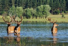 Ciervos en agua Imagen de archivo libre de regalías