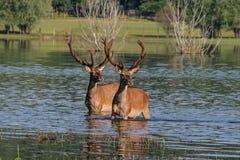 Ciervos en agua Fotografía de archivo