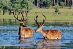 Ciervos en agua Foto de archivo libre de regalías