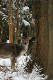 Ciervos en barbecho Fotos de archivo