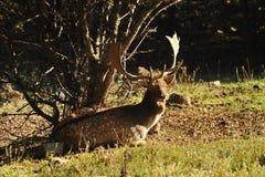 Ciervos en barbecho Imagenes de archivo