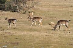 Ciervos en barbecho Foto de archivo