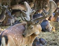 Ciervos en barbecho Imágenes de archivo libres de regalías