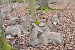 Ciervos en barbecho Imagen de archivo libre de regalías