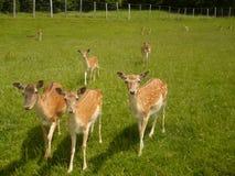 Ciervos en barbecho Fotos de archivo libres de regalías
